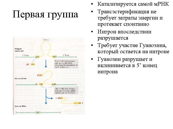Первая группа • Катализируется самой м. РНК • Трансэстерификация не требует затраты энергии и