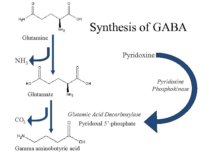 Synthesis of GABA Glutamine Pyridoxine NH 3 Pyridoxine Phosphokinase Glutamate CO 2 Glutamic Acid