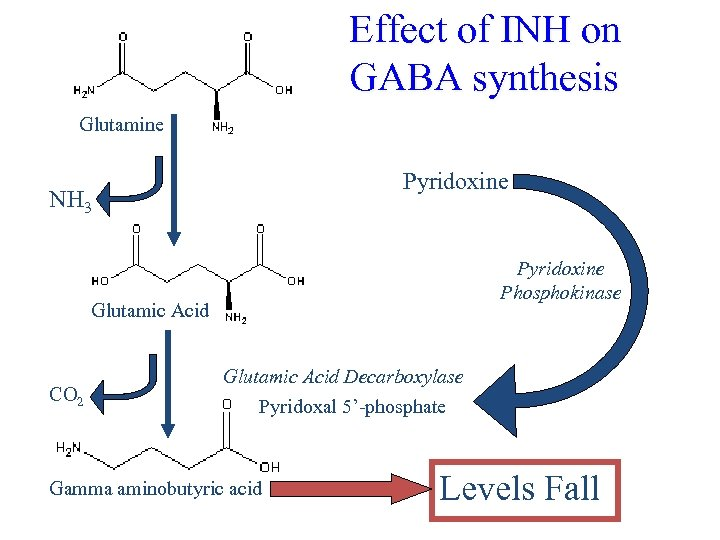 Effect of INH on GABA synthesis Glutamine Pyridoxine NH 3 Pyridoxine Phosphokinase Glutamic Acid