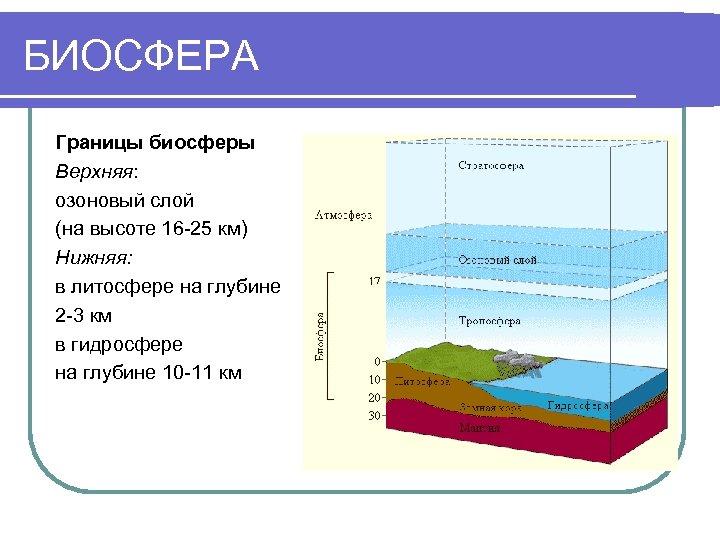 БИОСФЕРА Границы биосферы Верхняя: озоновый слой (на высоте 16 -25 км) Нижняя: в литосфере