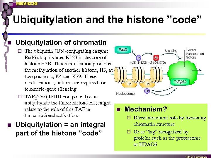 "MBV 4230 Ubiquitylation and the histone ""code"" n Ubiquitylation of chromatin The ubiquitin (Ub)-conjugating"