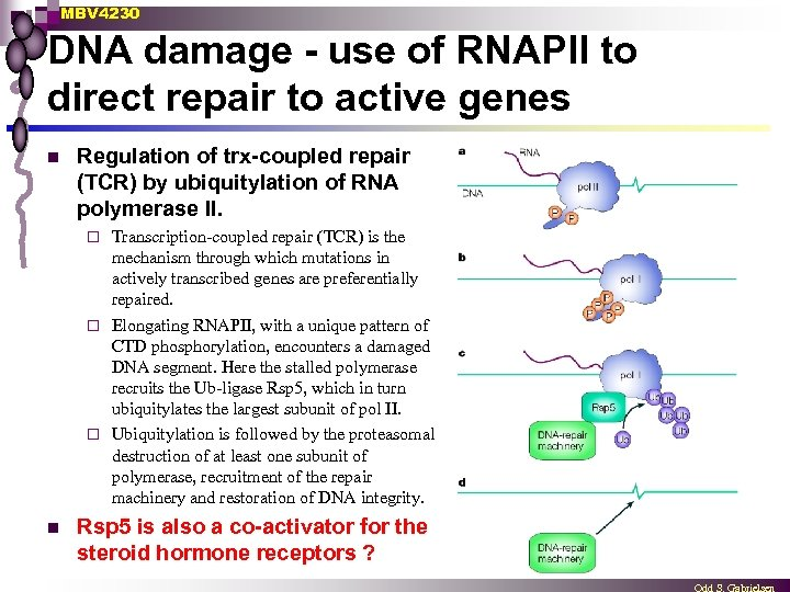 MBV 4230 DNA damage - use of RNAPII to direct repair to active genes