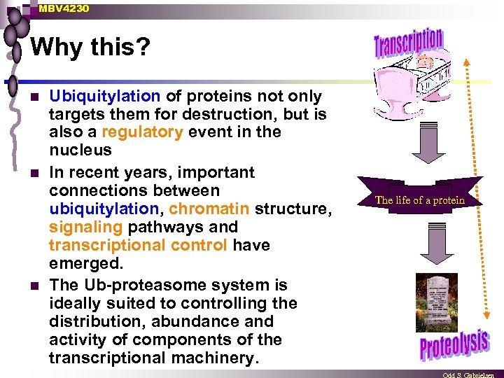 MBV 4230 Why this? n n n Ubiquitylation of proteins not only targets them