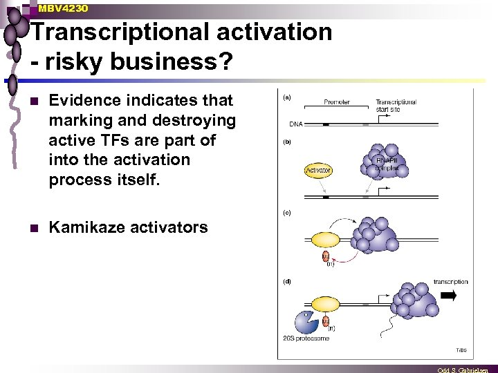 MBV 4230 Transcriptional activation - risky business? n Evidence indicates that marking and destroying