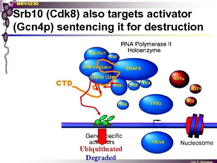MBV 4230 Srb 10 (Cdk 8) also targets activator (Gcn 4 p) sentencing it