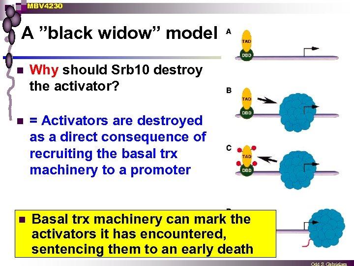 "MBV 4230 A ""black widow"" model n Why should Srb 10 destroy the activator?"