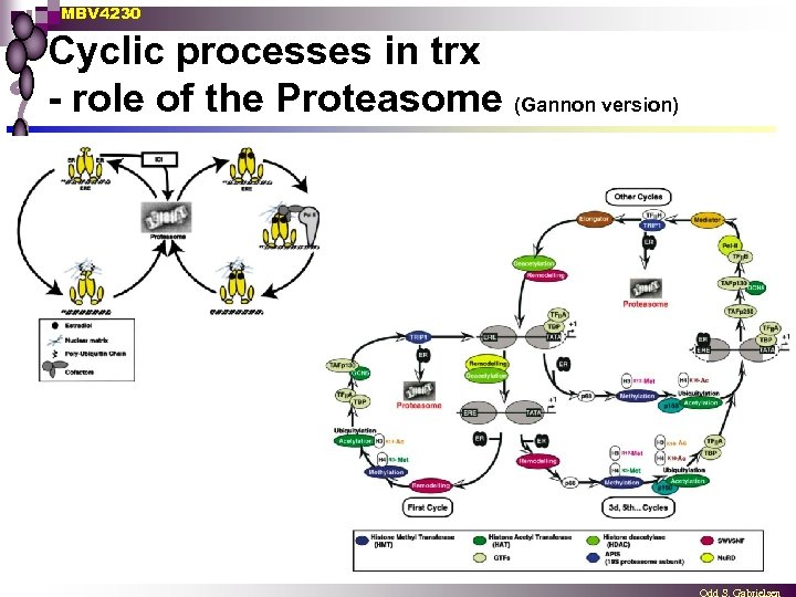 MBV 4230 Cyclic processes in trx - role of the Proteasome (Gannon version)