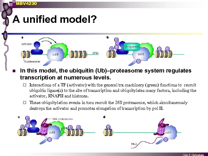 MBV 4230 A unified model? n In this model, the ubiquitin (Ub)–proteasome system regulates