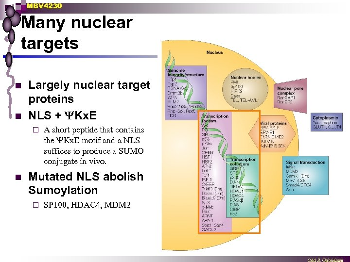 MBV 4230 Many nuclear targets n n Largely nuclear target proteins NLS + Kx.