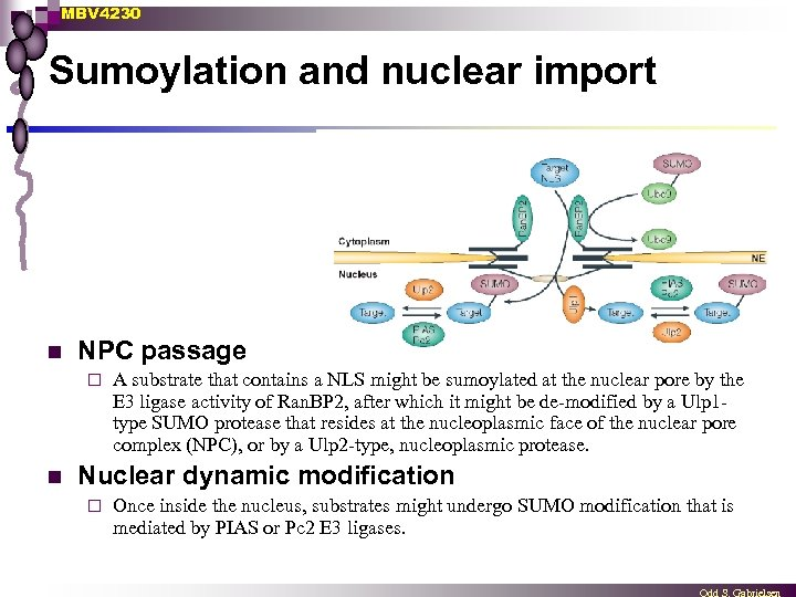 MBV 4230 Sumoylation and nuclear import n NPC passage ¨ n A substrate that