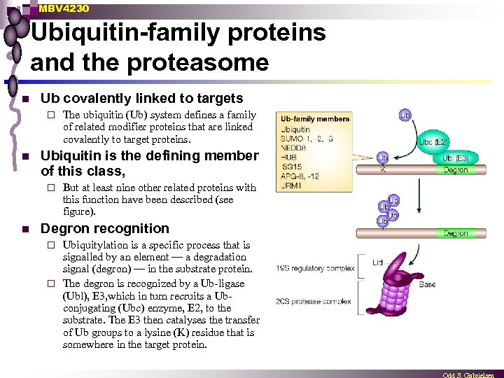 MBV 4230 Ubiquitin-family proteins and the proteasome n Ub covalently linked to targets ¨