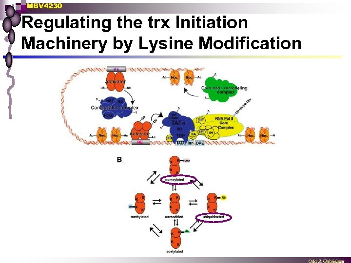 MBV 4230 Regulating the trx Initiation Machinery by Lysine Modification