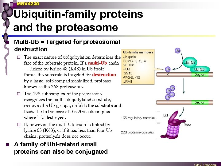 MBV 4230 Ubiquitin-family proteins and the proteasome n Multi-Ub = Targeted for proteosomal destruction