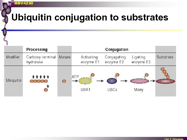 MBV 4230 Ubiquitin conjugation to substrates