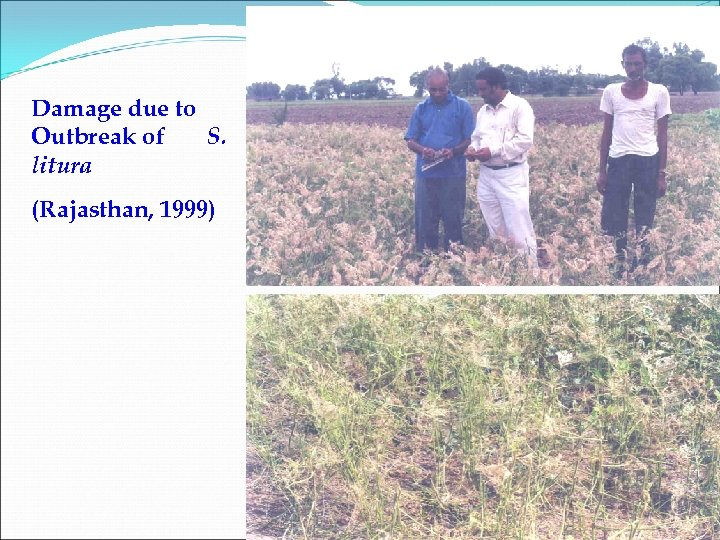 Damage due to Outbreak of S. litura (Rajasthan, 1999)