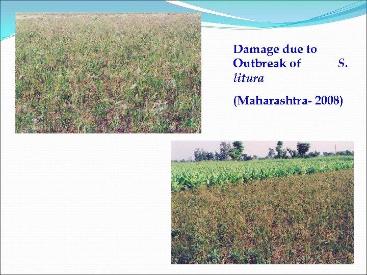 Damage due to Outbreak of litura S. (Maharashtra- 2008)