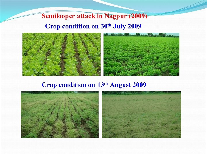 Semilooper attack in Nagpur (2009) Crop condition on 30 th July 2009 Crop condition