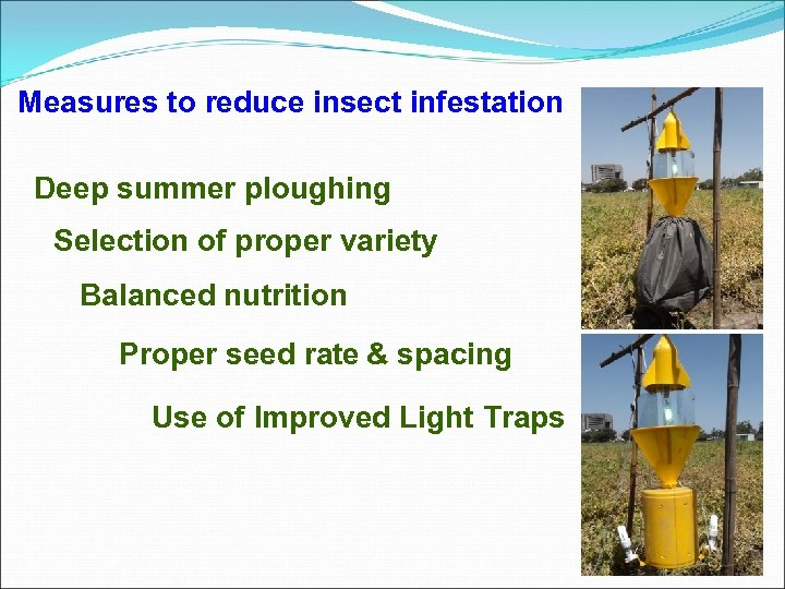 Measures to reduce insect infestation Deep summer ploughing Selection of proper variety Balanced nutrition