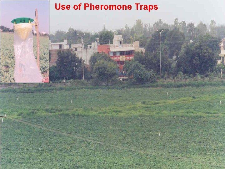 Use of Pheromone Traps