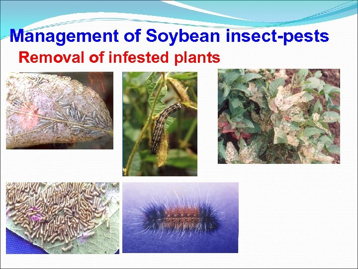 Management of Soybean insect-pests Removal of infested plants