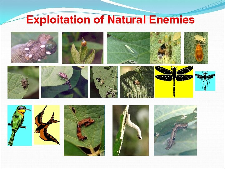 Exploitation of Natural Enemies