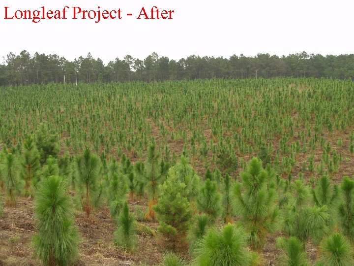 Longleaf Project - After