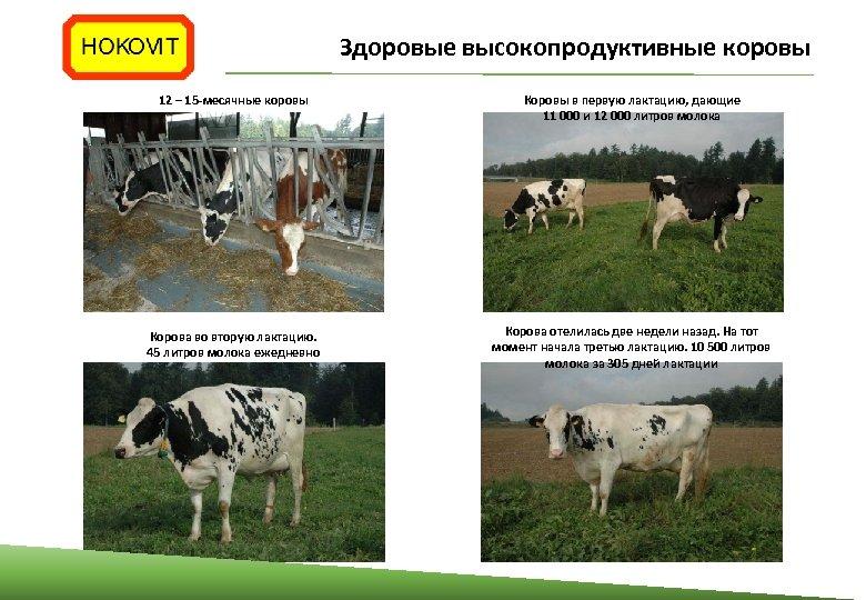 Здоровые высокопродуктивные коровы 12 – 15‐месячные коровы Коровы в первую лактацию, дающие 11 000