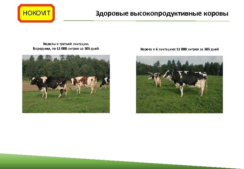 Здоровые высокопродуктивные коровы Коровы в третьей лактации. В среднем, по 12 000 литров за