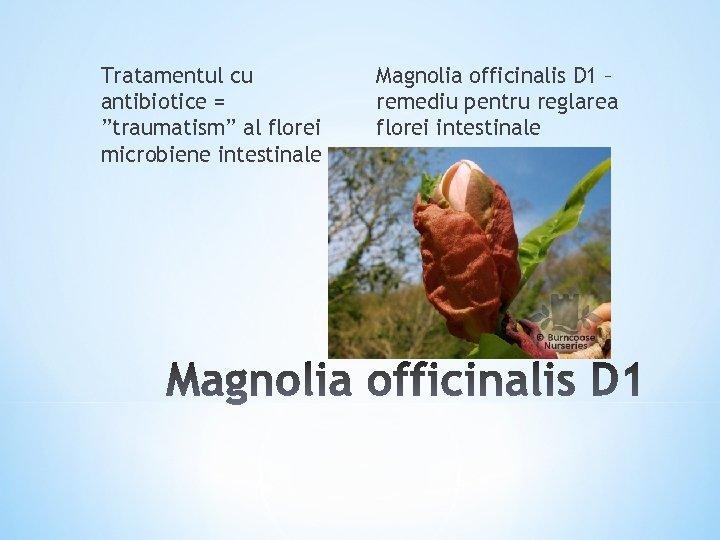 """Tratamentul cu antibiotice = """"traumatism"""" al florei microbiene intestinale Magnolia officinalis D 1 –"""