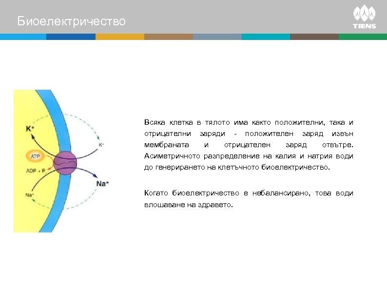 Биоелектричество Всяка клетка в тялото има както положителни, така и отрицателни заряди - положителен