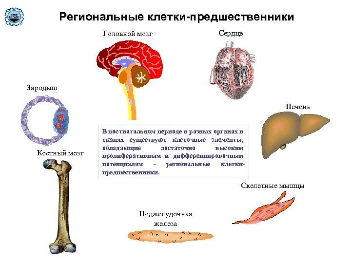 Региональные клетки-предшественники Головной мозг Сердце Зародыш Печень Костный мозг В постнатальном периоде в разных