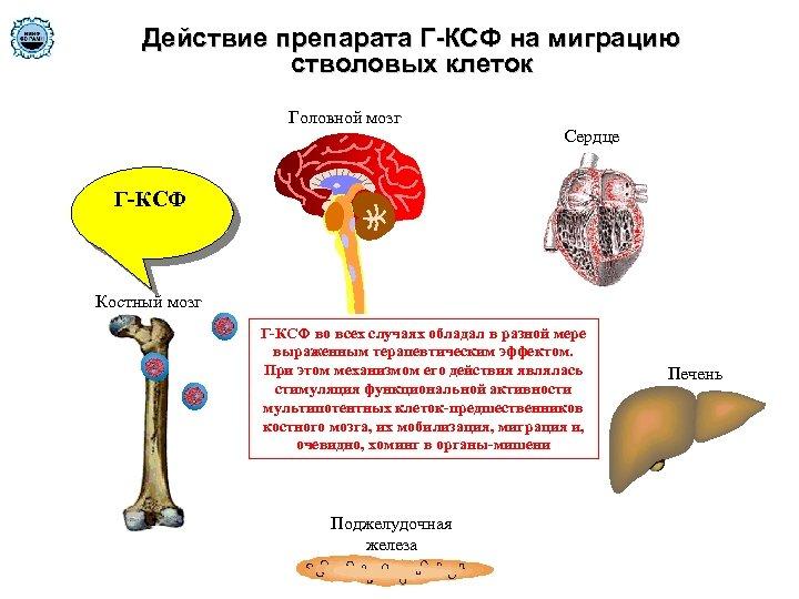 Действие препарата Г-КСФ на миграцию стволовых клеток Головной мозг Сердце Г-КСФ Костный мозг Г-КСФ
