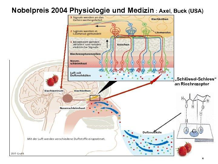"""Nobelpreis 2004 Physiologie und Medizin : Axel, Buck (USA) """"Schlüssel-Schloss"""" an Riechrezeptor C 6"""