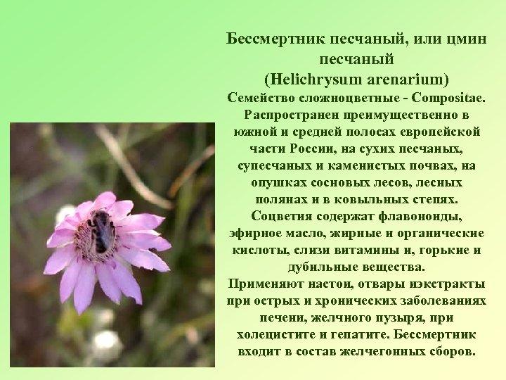 Бессмертник песчаный, или цмин песчаный (Helichrysum arenarium) Семейство сложноцветные - Compositae. Распространен преимущественно в