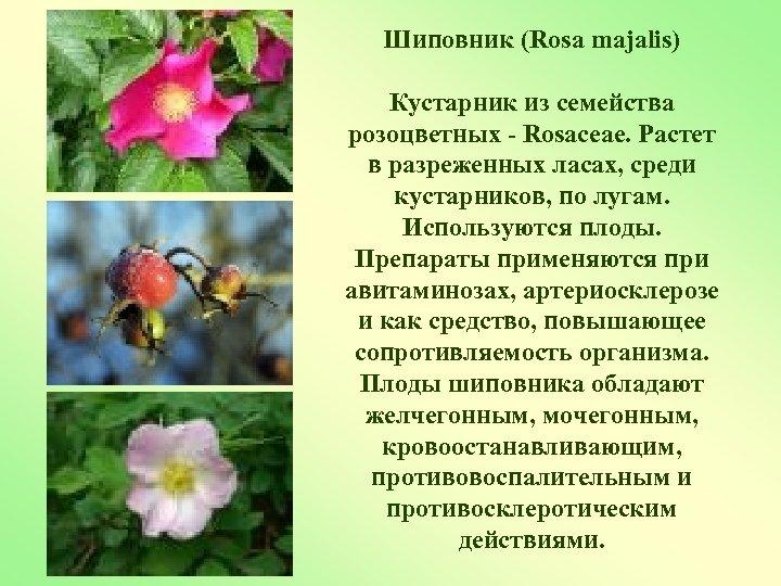Шиповник (Rosa majalis) Кустарник из семейства розоцветных - Rosaceae. Растет в разреженных ласах, среди