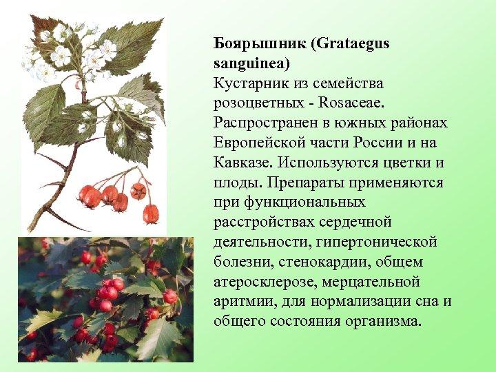 Боярышник (Grataegus sanguinea) Кустарник из семейства розоцветных - Rosaceae. Распространен в южных районах Европейской
