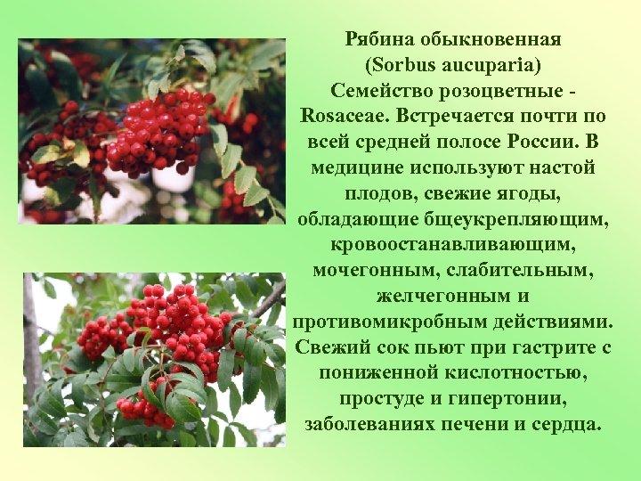 Рябина обыкновенная (Sorbus aucuparia) Семейство розоцветные Rosaceae. Встречается почти по всей средней полосе России.