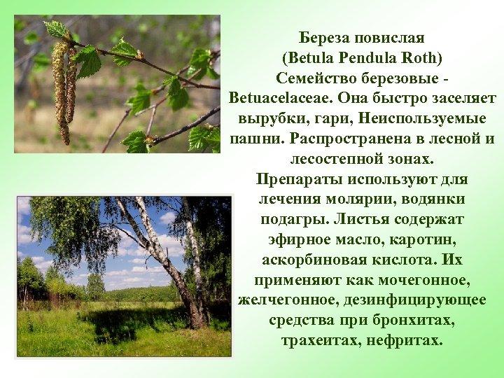 Береза повислая (Betula Pendula Roth) Семейство березовые Betuacelaceae. Она быстро заселяет вырубки, гари, Неиспользуемые