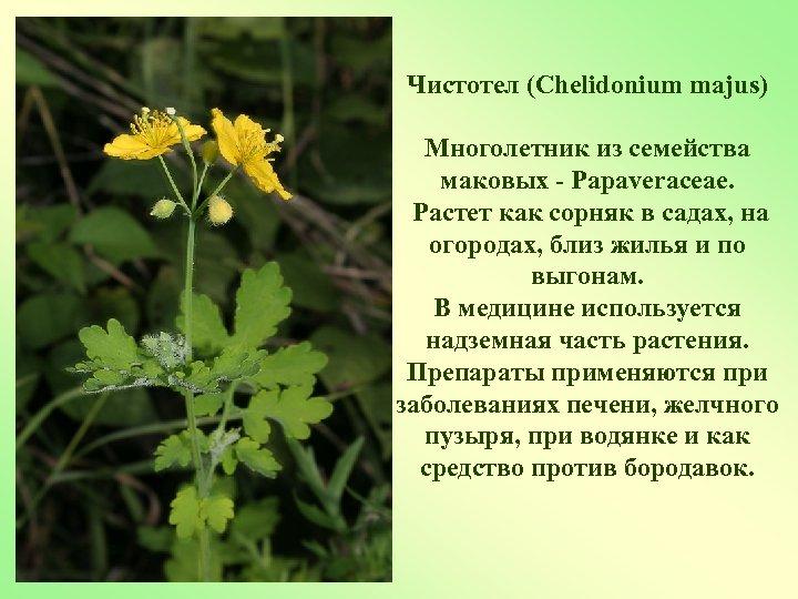 Чистотел (Chelidonium majus) Многолетник из семейства маковых - Papaveraceae. Растет как сорняк в садах,