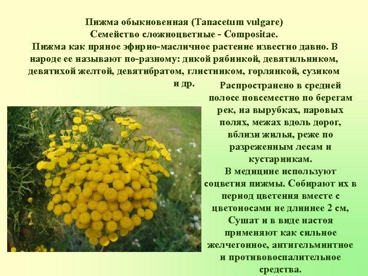 Пижма обыкновенная (Tanacetum vulgare) Семейство сложноцветные - Compositae. Пижма как пряное эфирно-масличное растение известно