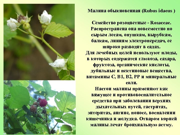 Малина обыкновенная (Rubus idaeus ) Семейство розоцветные - Rosaceae. Распространена она повсеместно по сырым