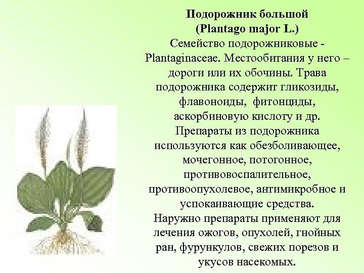 Подорожник большой (Plantago major L. ) Семейство подорожниковые Plantaginaceae. Местообитания у него – дороги