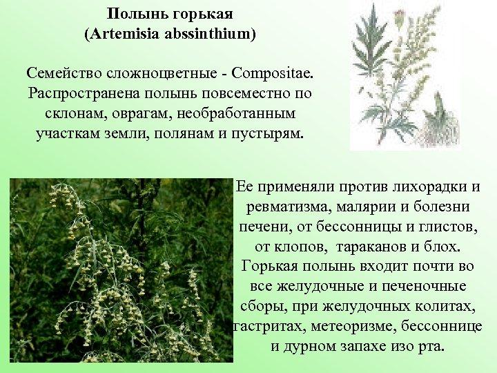 Полынь горькая (Artemisia abssinthium) Семейство сложноцветные - Compositae. Распространена полынь повсеместно по склонам, оврагам,