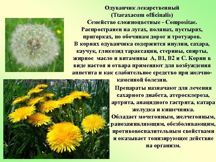 Одуванчик лекарственный (Ttaraxacum officinalis) Семейство сложноцветные - Compositae. Распространен на лугах, полянах, пустырях, пригорках,