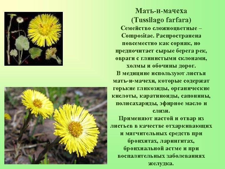 Мать-и-мачеха (Tussilago farfara) Семейство сложноцветные – Compositae. Распространена повсеместно как сорняк, но предпочитает сырые