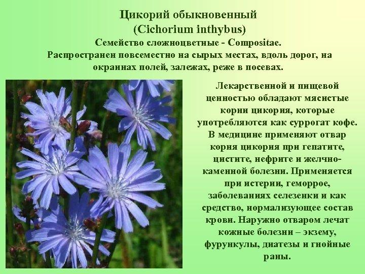 Цикорий обыкновенный (Cichorium inthybus) Семейство сложноцветные - Compositae. Распространен повсеместно на сырых местах, вдоль