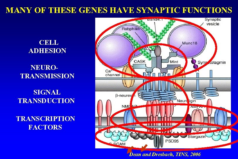 MANY OF THESE GENES HAVE SYNAPTIC FUNCTIONS presynaptic CELL ADHESION NEUROTRANSMISSION { Dendritic SIGNAL