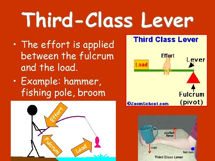 Third-Class Lever Ef f or t • The effort is applied between the fulcrum