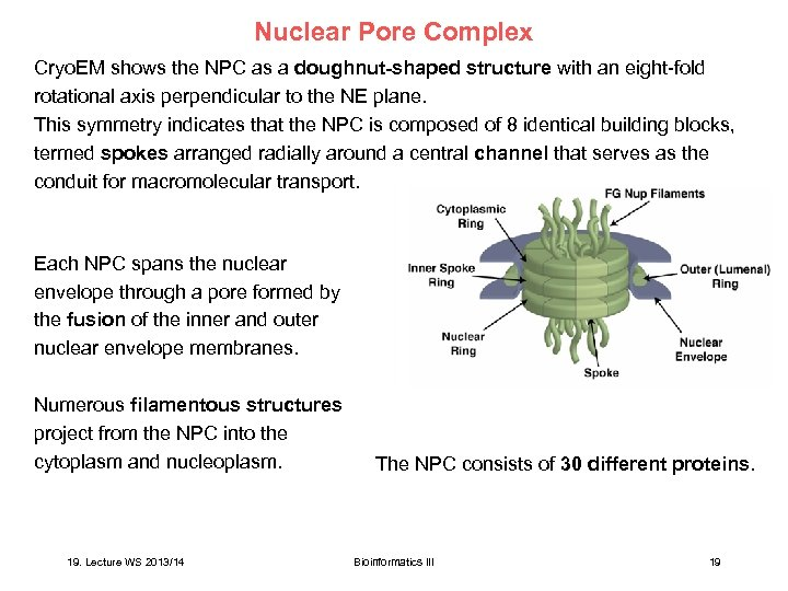 Nuclear Pore Complex Cryo. EM shows the NPC as a doughnut-shaped structure with an