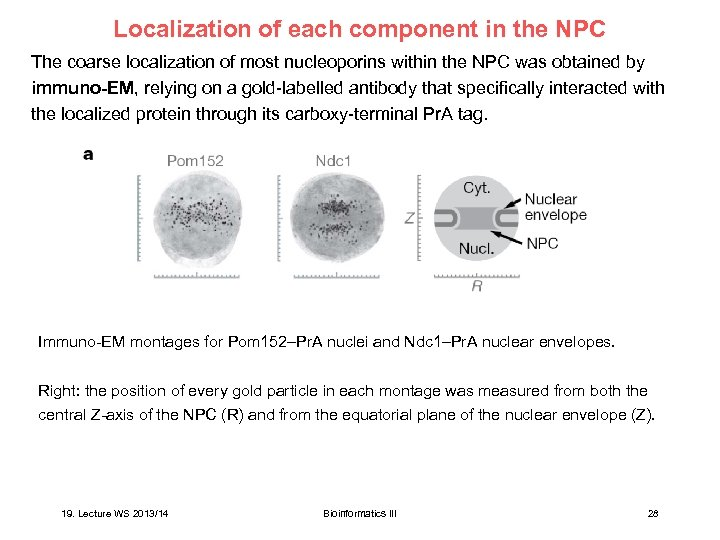 Localization of each component in the NPC The coarse localization of most nucleoporins within